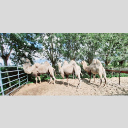 3 White Camels