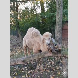 Camel stallion