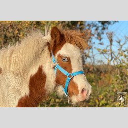 Timmy Welsh pony
